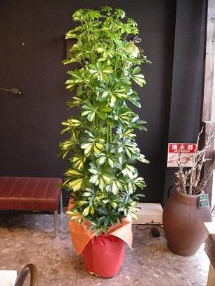 札幌花屋観葉植物シュフレラ 斑入り